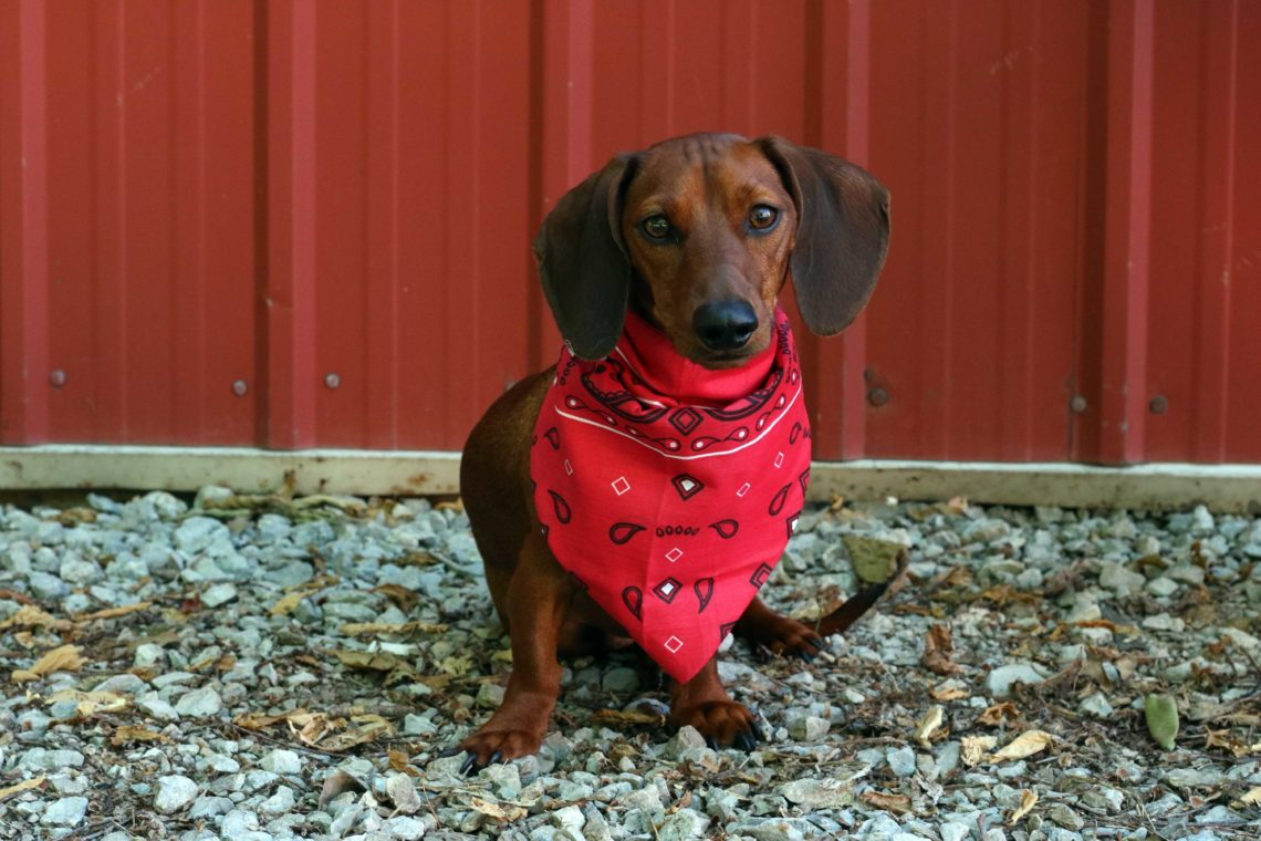 Batman, weiner dog, 4th of July puppy, red bandanna