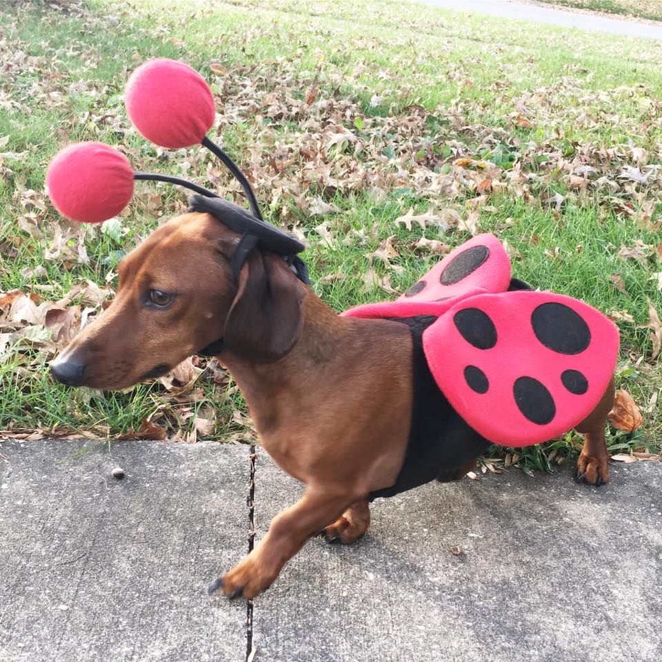 bumblebee costume, Happy Halloween, Batman, weiner dog, dachsund costume, fall